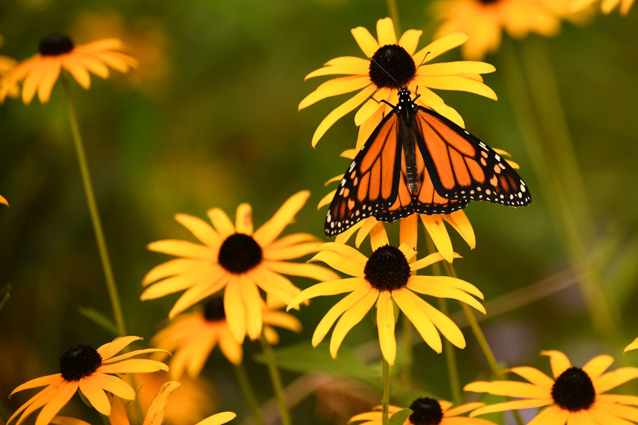 Black-eyed susan with butterfly